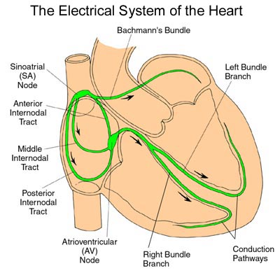 Untitled document electrical heart interior heart valves hip immune system knee liver biliary mouth mouth pharynx ortho joints pelvis ccuart Images